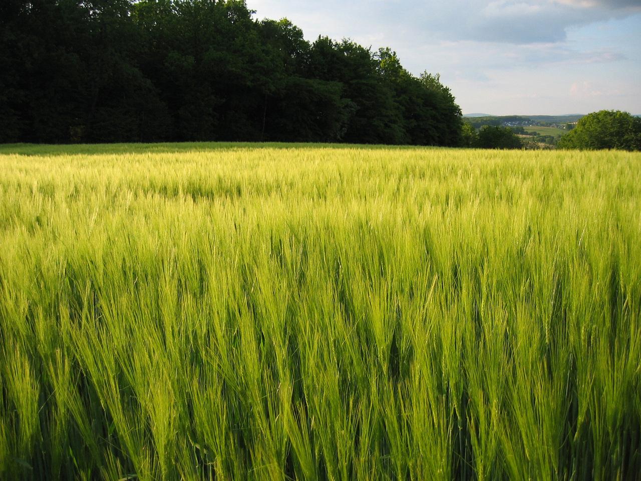 zielony jęczmień - longverti.pl