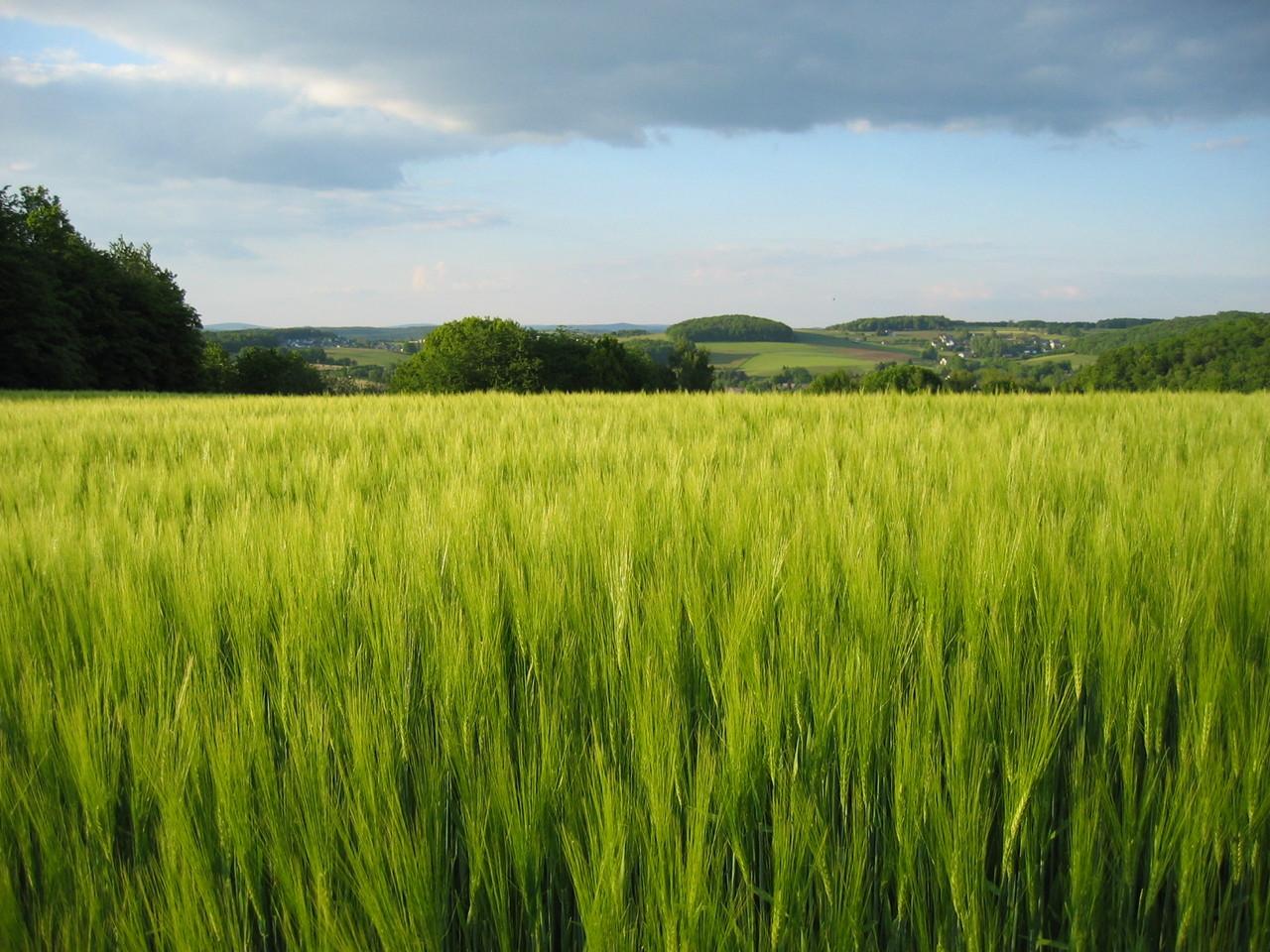 Zielony jęczmień – na czym polega jego fenomen? Jakie są właściwości młodego jęczmienia?